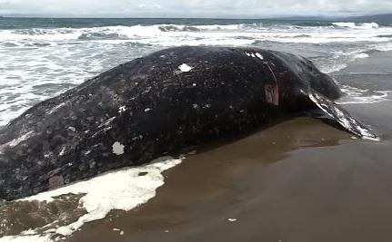 샌프란시스코만에서 또 고래 사체 발견
