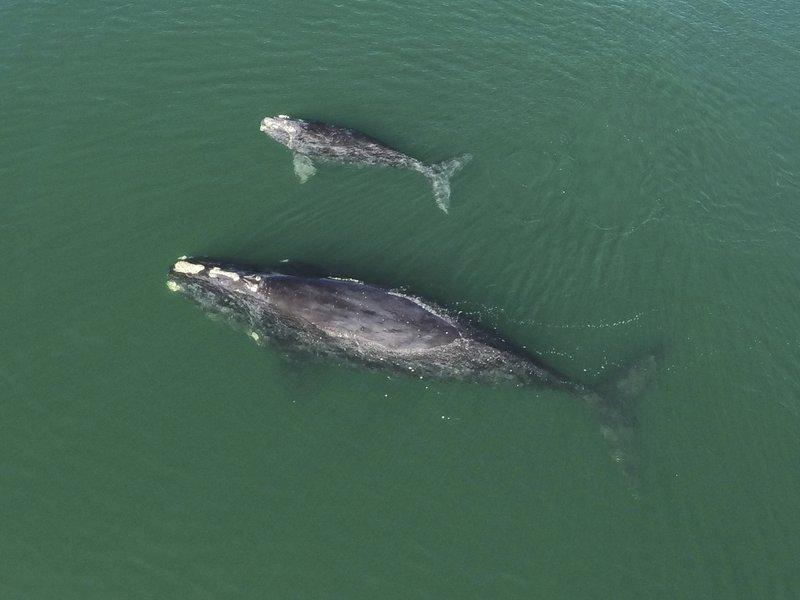 멸종 위기종 북대서양참고래 새끼 17마리 발견